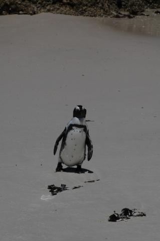 Pinguin in Simon's Town