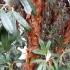 """Bolilepsis-""""Papierbaum"""""""