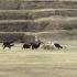 Lamas in Saqsayhuaman