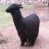 Lama in der Cooperative