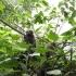 Affen auf Urca
