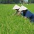 Wenns mit dem Ergo Job nicht mehr klappt, können wir doch auf dem Reisfeld arbeiten?!