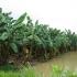 Bananen im Regen