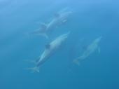 Delfine zwischen Ko Tachai und Ko Bon