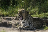 """""""You can always go to see a lion - but you can`t go to see a leopard"""" (unser Guide)"""