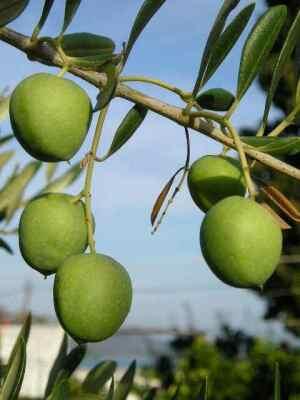 Motovun - Oliven aus Istrien