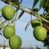 Oliven aus Istrien