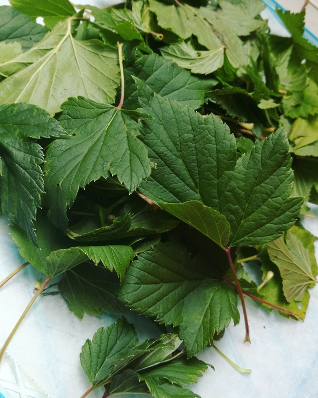 Just about to dry these badboys out!! :thumbsup::raised_hands::pray::metal::muscle::yum::leaves::maple_leaf: #blackcurrantleaves