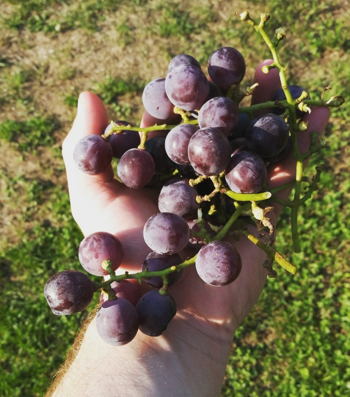 Time to harvest these badboys!!! :grapes::grapes::grapes: