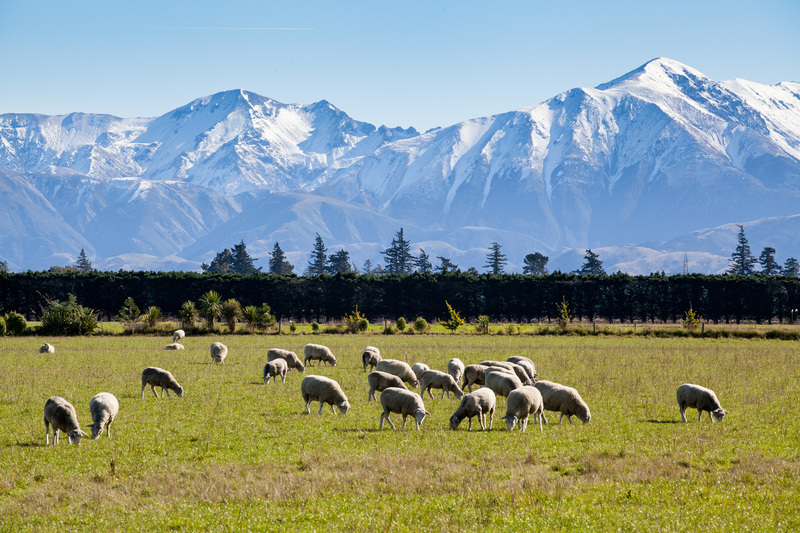 Our New Zealand Pure South lamb is all naturally produced and grass-fed without the use of steroids or hormones. If you would like to know more please contact us at foodservice@alliancenz.co.uk #freerange #grassfed #newzealandlamb #NZlamb #NZ