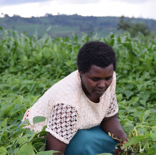 Mary Moraa at her french bean garden ub Trans Nzoia County.jpg