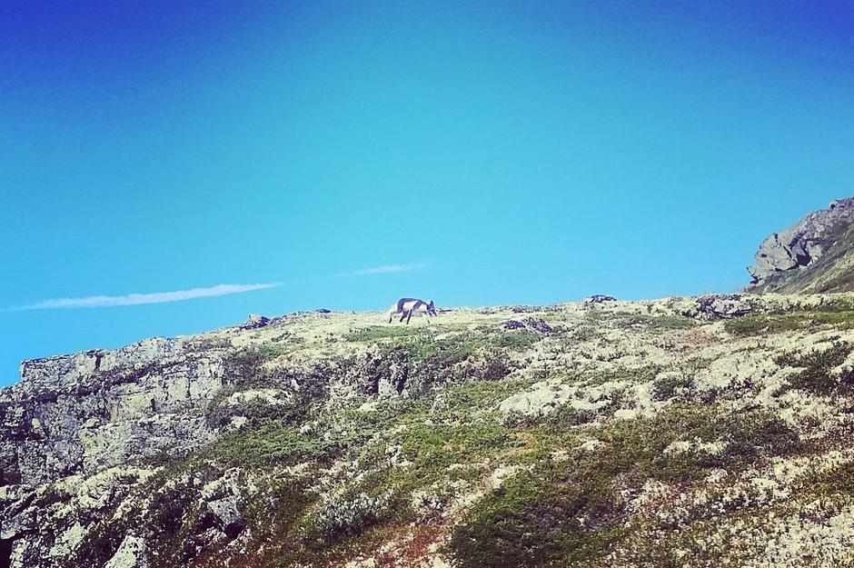 En liten fjellrev tusler på vetle Finsenut