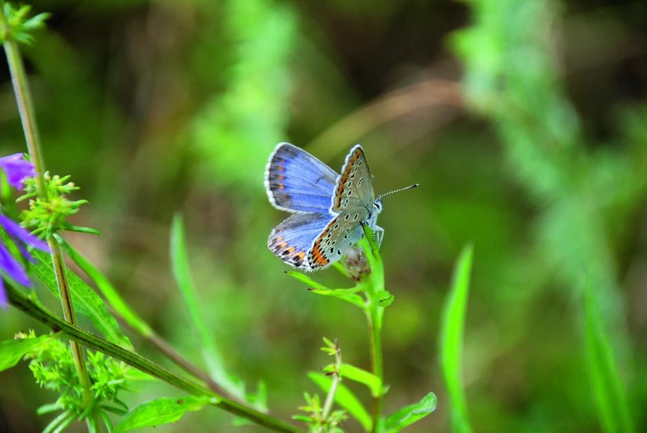 Lakrismjeltblåvinge er en av våre to mest sjeldne sommerfugler og kan dø ut i Norge.