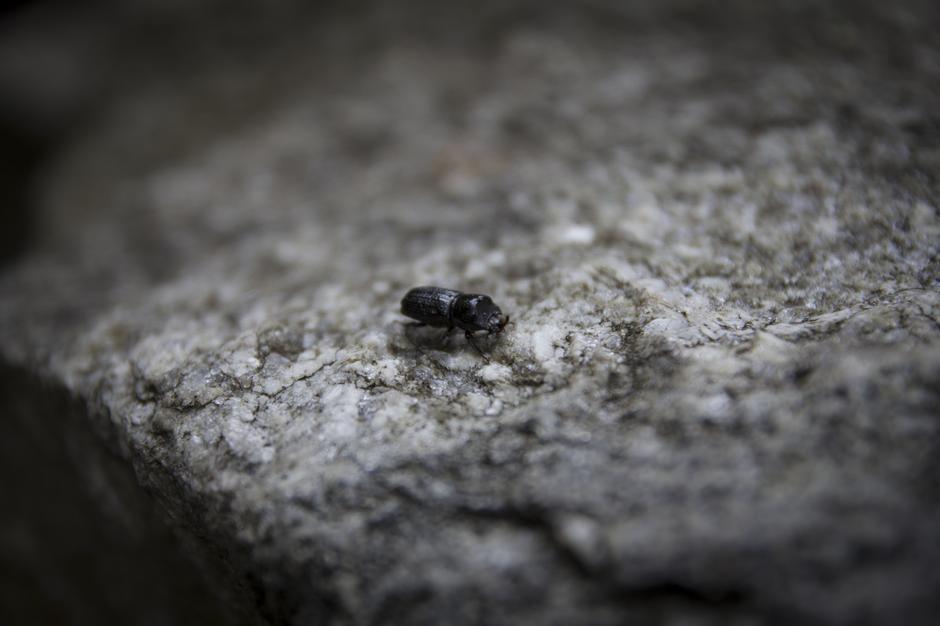 Kjekt å treffe på en liten valsehjort. Den hører til familien hjortebiller.