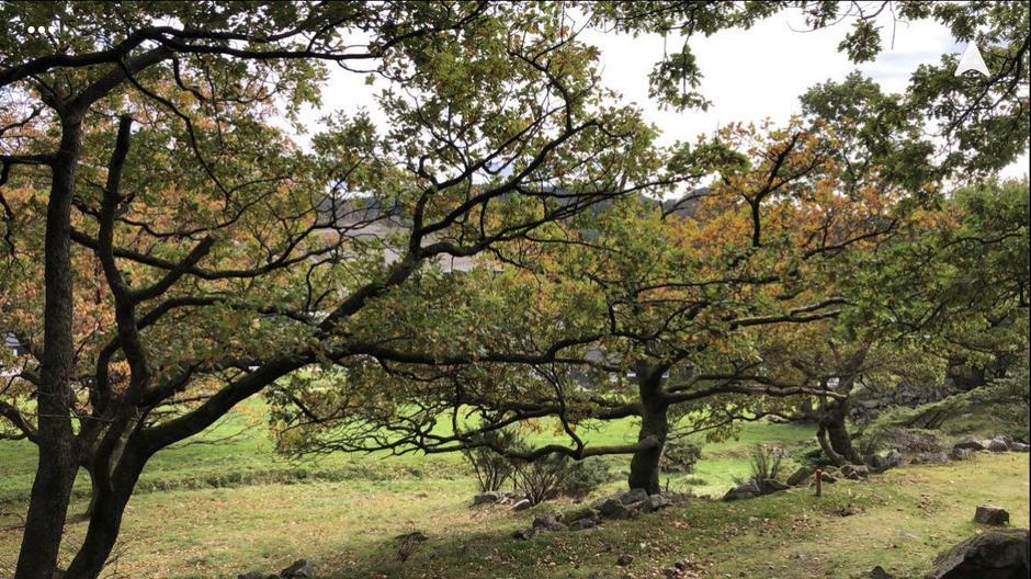 Eiketrær i Sandnes, på vei opp til Ragnhildsnuten.