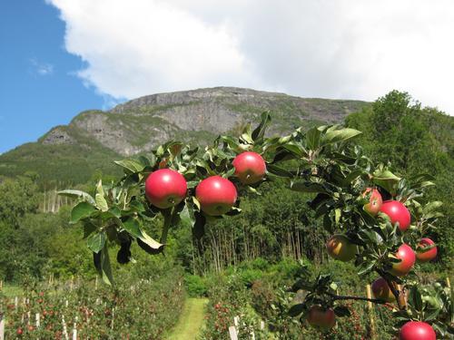 Epler i Hardanger