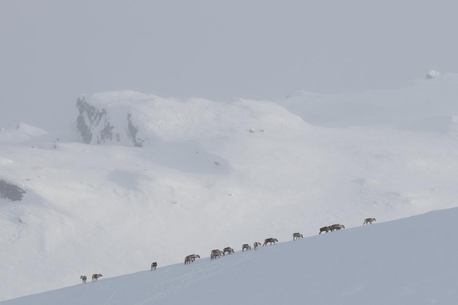 I helgen ble det observert reinsdyr ved Haukeliseter. Fantastiske dyr , men husk å holde avstand.