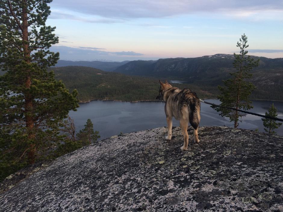 Hunden 'Vassfarets Lilja' skuer utover Strøen