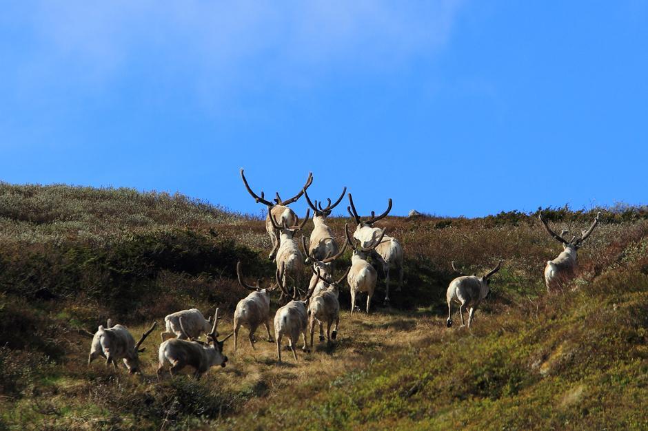 Villrein i p-bakken nord for Haukeliseter fjellstue