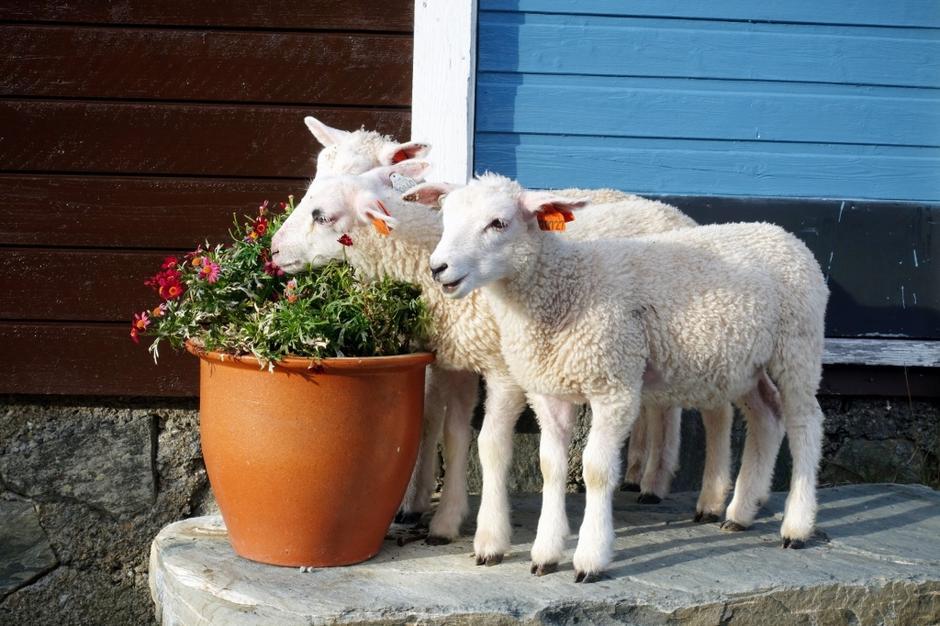 Sauene feirer ny besøksrekord på Geiterygghytta med å spise vertinnens blomster!