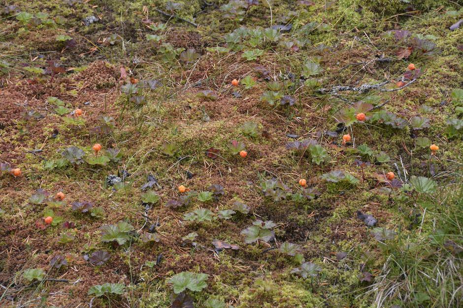 Kanskje du er heldig å finne slike mengder molte i området rundt Jonstølen.