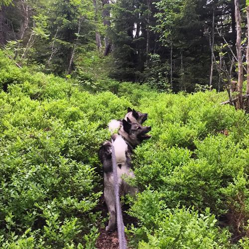 Lakka og Bamse synes det lukter himmelsk på tur, dette er en mye brukt sti og runde på Krokskogen som vi går hjemmefra. Her kan man gå om man følger blåmerket sti fra Rognlia til Langebru (se markadatabasen)