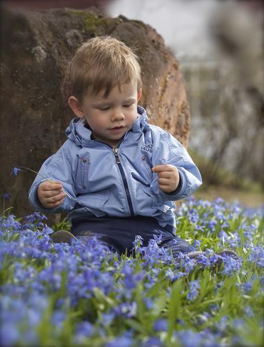 """Tekst: """"Åhh se så fine blomster!""""Hver vår så blir deler av naturstien vår dekket at vakre blå (russiske skilla) blomster. Sønnen vår Kasper Aleksander Arneberg er blitt så utrolig glad i å være ute i naturen, og spesielt glad har han blitt i blomster. Det er interessant å tenke på hva som foregår inne i hodet på et lite barn i møte med vakker natur og i vakre naturopplevelser.Sted: Brumunddal, Ringsaker, Hedmark.Foto: Jan Arneberg."""