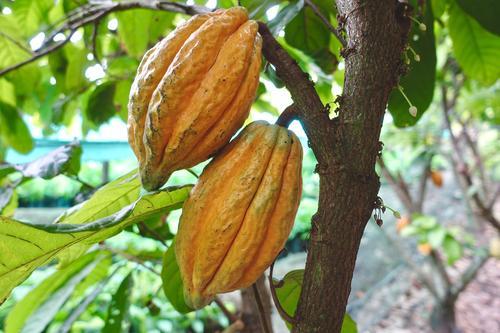 Fra kakaobønne til sjokoladeplate