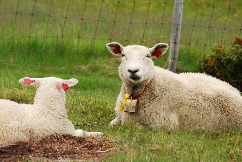 Grimsdalen er en levende dal, med dyr på beite.
