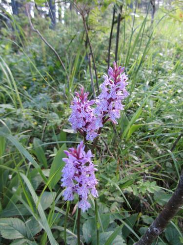 Orkide i Bremsåsen naturreservat, Nedre Eiker.