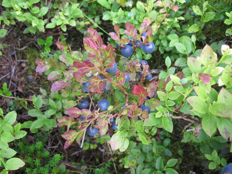 Blåbær. Femundsmarka bugner av bær, multer, blåbær og tyttebær, tre høytider gjennom sommeren/høsten.