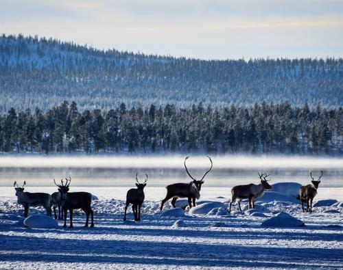 Bilde av reinsdyr i kaldt vintervær tatt på Femund i Sorken, Engerdal.