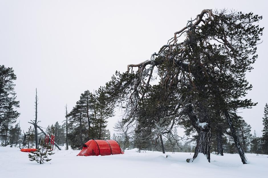 MAJESTETISK: Vi lar en steingammel furu våke over teltet i en bitte liten rest av urskog.