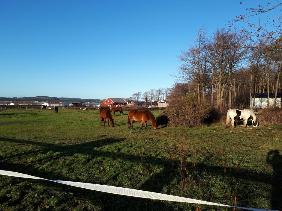 Beitende hester på Jomfruland Hestesenter og besøksgård!
