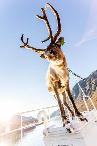Vinterturer med reinsdyr på Øvre Sjodalsvatn