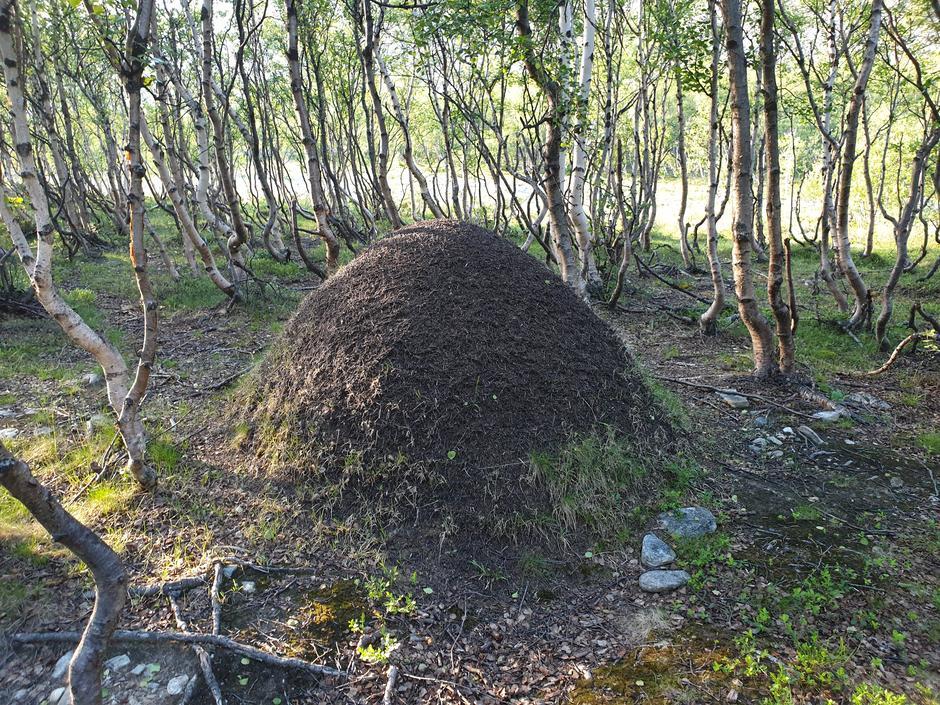Massiv maurtue i bjørkaskogen