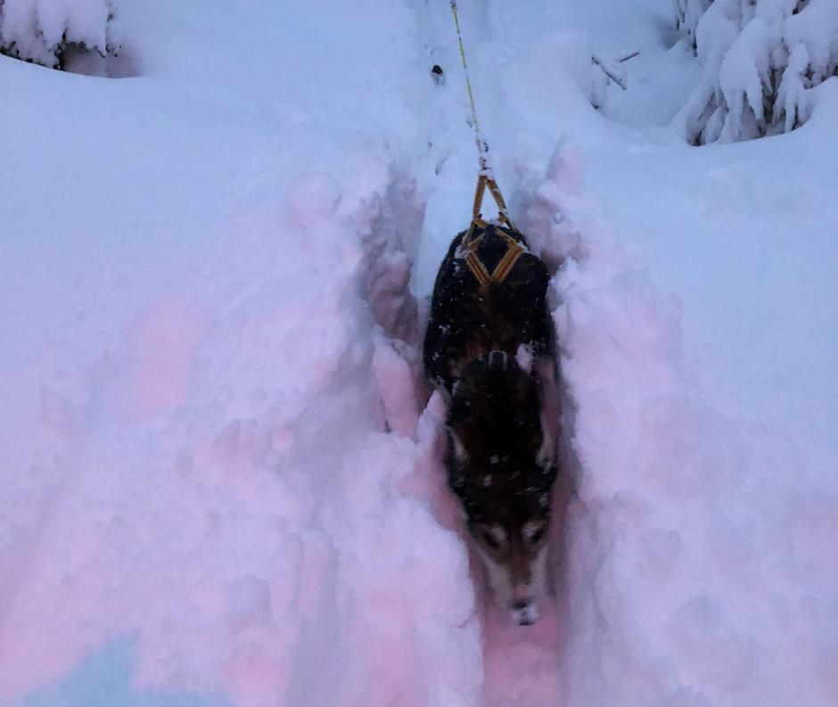 Selv en Husky kan bli liten i vintersnøen på Finnskogen
