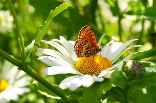 sommerfugl i blomsterland.