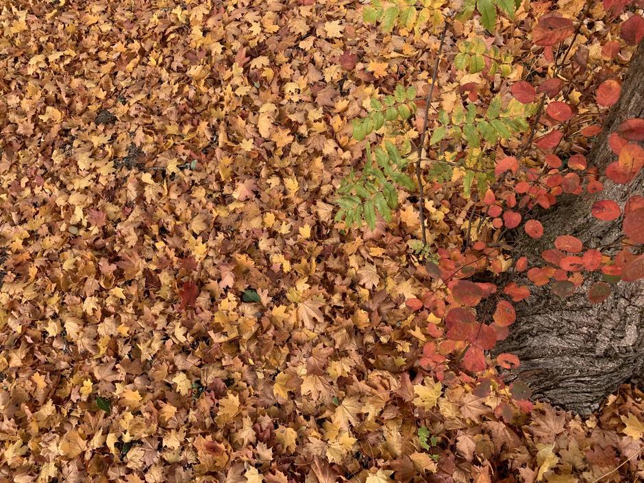 Fargene er fine selv om bladene har havnet på bakken også