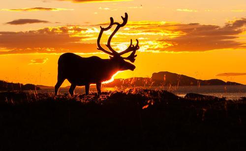 Reinsdyr i solnedgang.