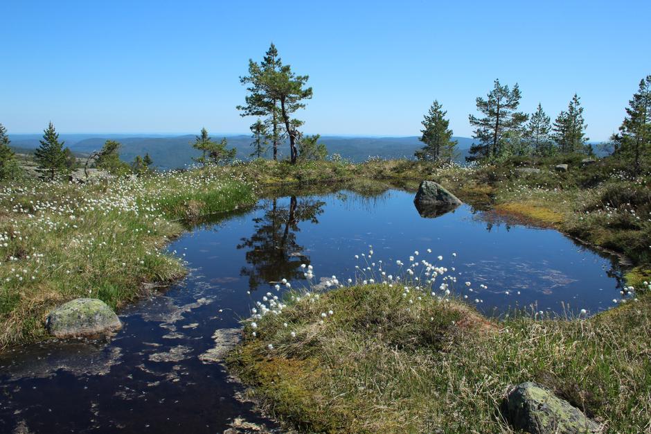 Solhomfjell i sommerprakt pynta med myrull.