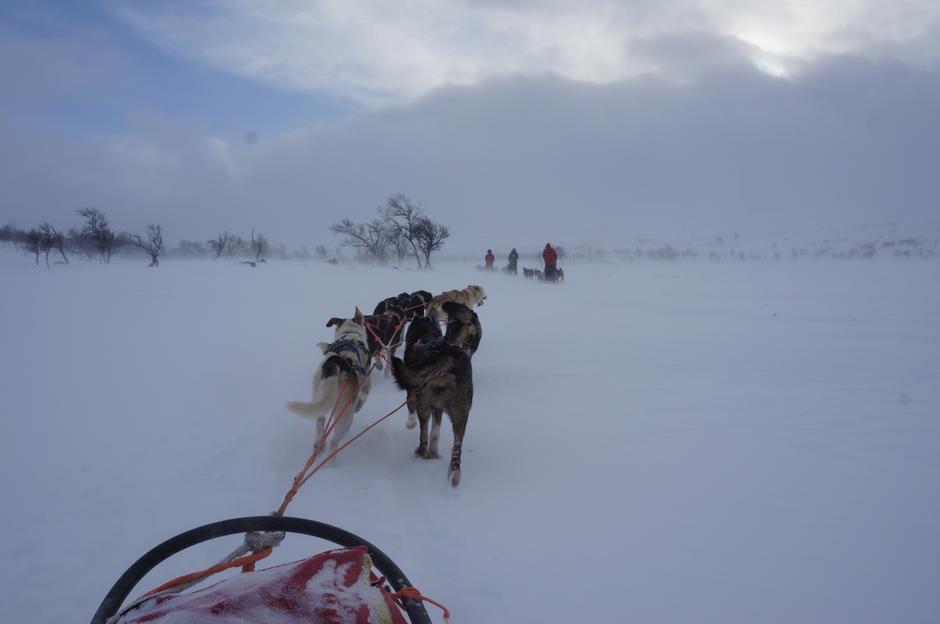 Vi tilbyr noen dager med hundekjøring samtidig med Femundsløpet. Et spesielt opplegg hvor vi også ser på konkurransekjørerne.