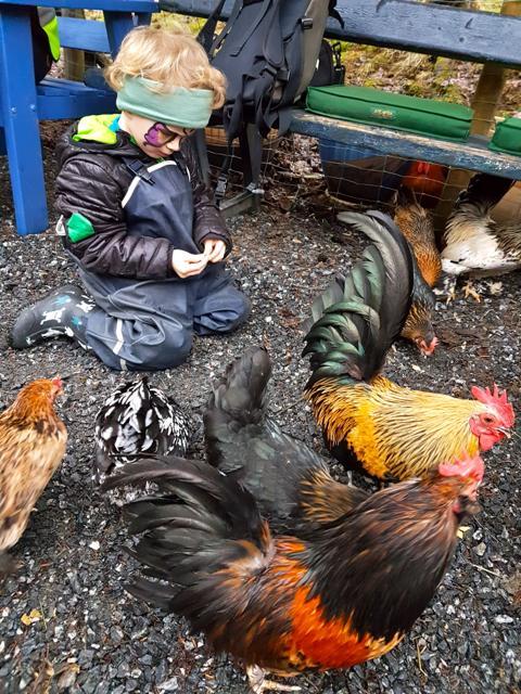 Mating av høner og haner