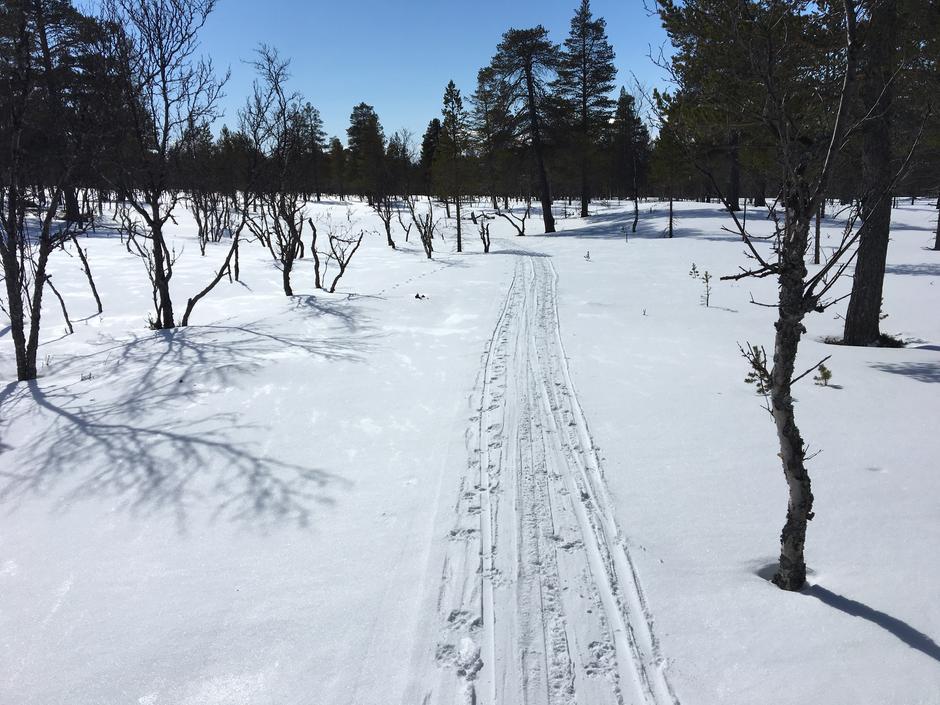 Skispor fra Elgå til Svukuriset . Uke 15