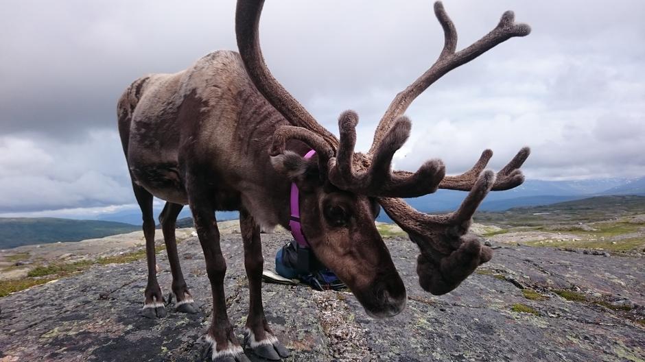 Saltfjellets egen Rudolf!