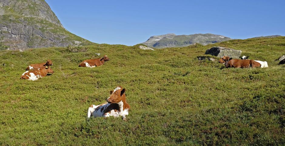 Kjekt å bli vekket av en slik gjeng en fredag morgen. Vakre, lykkelige og flotte kviger i Fresvikjordalen.