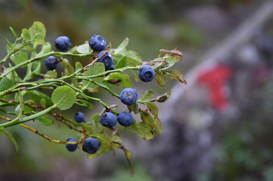 Søte og modne blåbær finner du blant annet i områdene rundt Bakken gard.