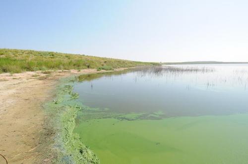 Cyanobakterier i  Goksjø