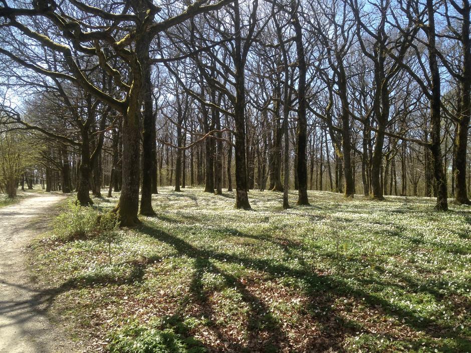 Hvitveis i eikeskogen en vårdag.