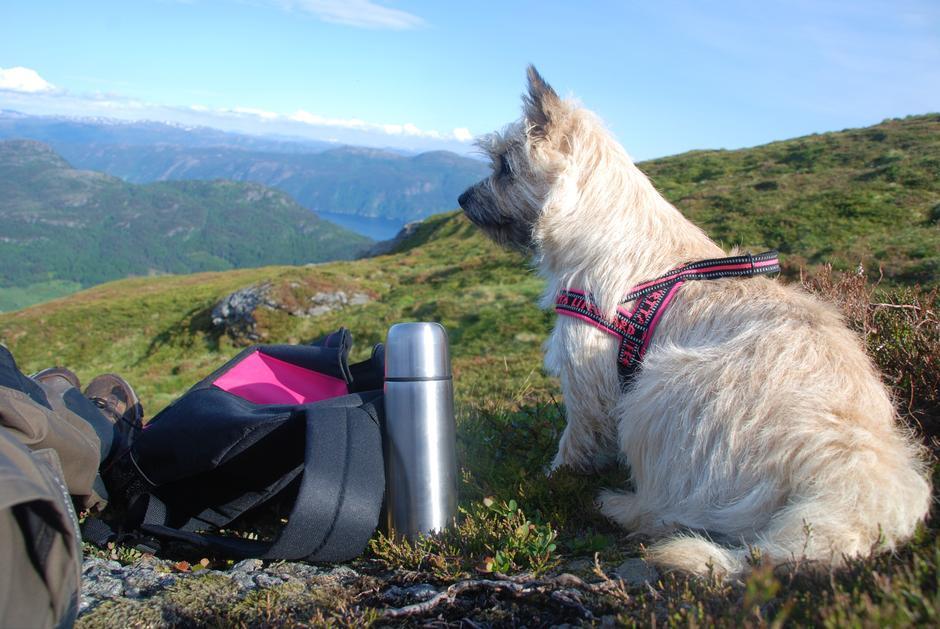 En liten fjelltur med cairn terrieren, Trulte.